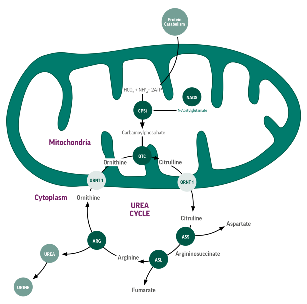 Urea-cycle